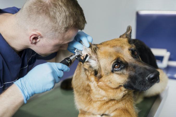 veterinario revisando el oído de un perro
