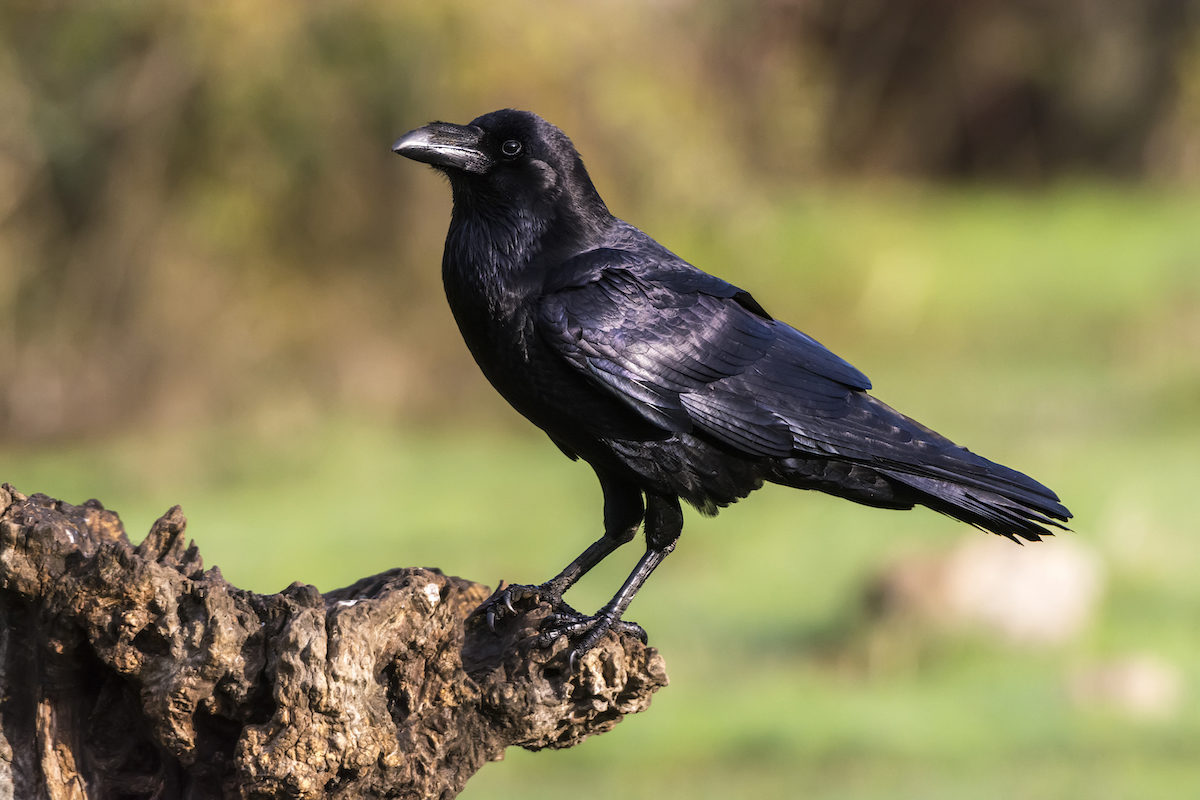 black crow perched on a log