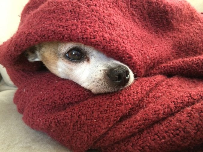 dog covered with a red blanket