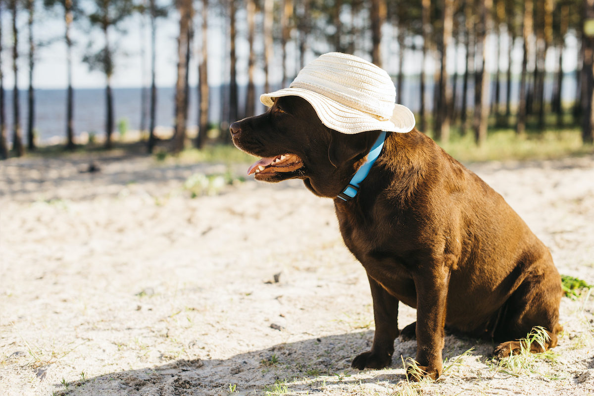 dog on the beach with a hat