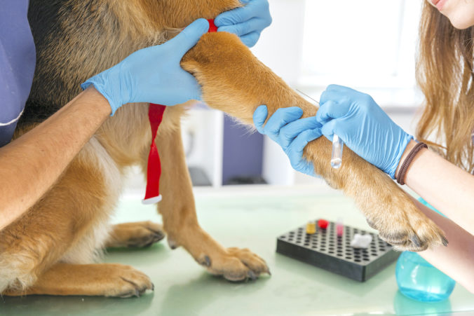 veterinarians performing a blood test on a dog