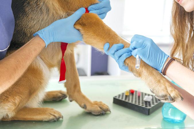 veterinaris realitzant una anàlisi de sang a un gos