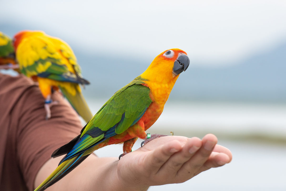 green and yellow parrot perched on a man's hand