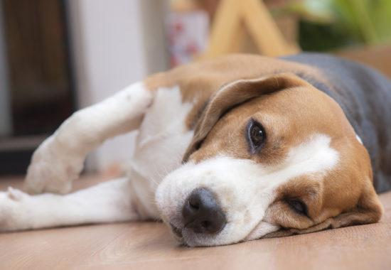 leptospirosis canina