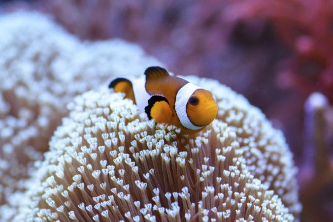 peix pallasso