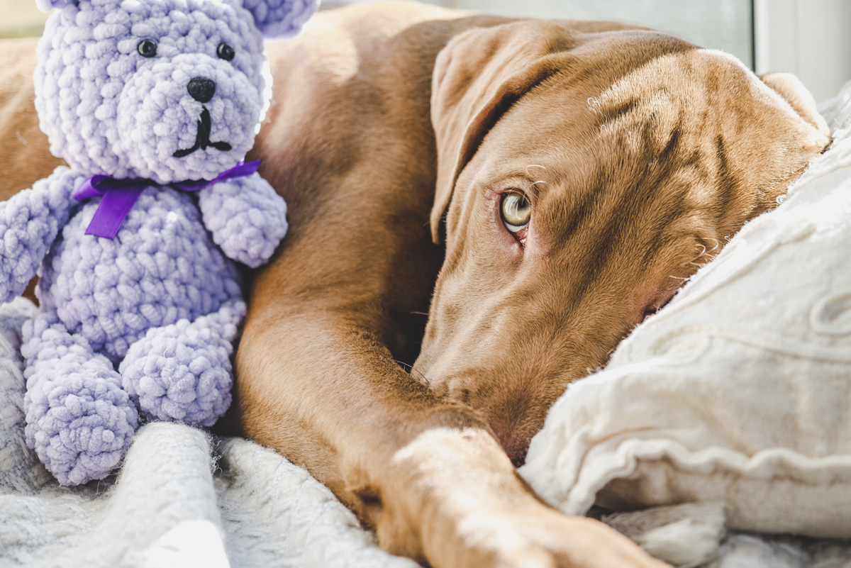 female dog with pseudogestation