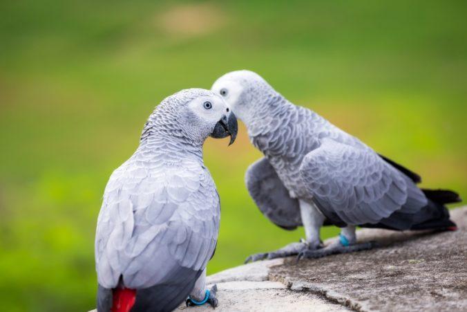 Dos lloros grisos africans en el seu hàbitat natural
