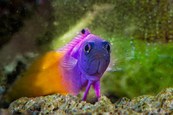 pez gramma loreto en un acuario