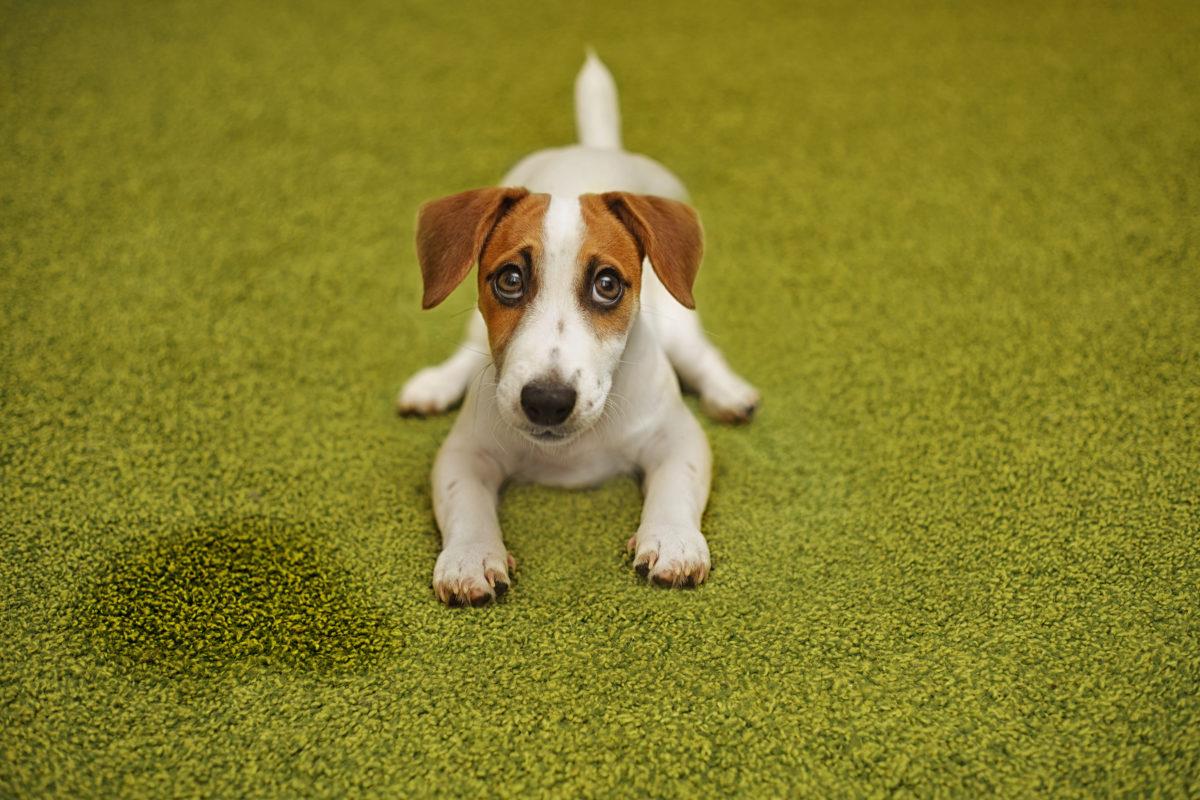 gos amb orina que pateix poliuria-polidepsia