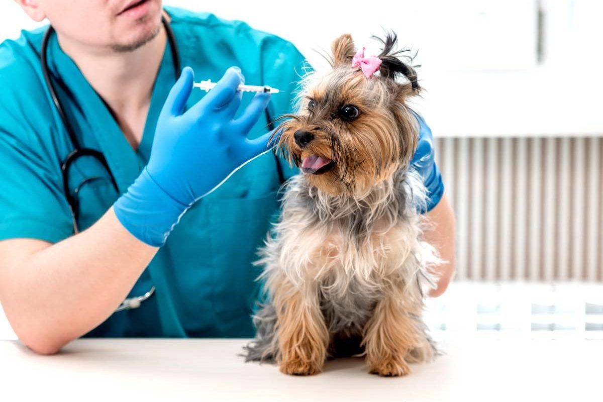 Veterinario poniendo una vacuna a un perro de raza Yorkshire