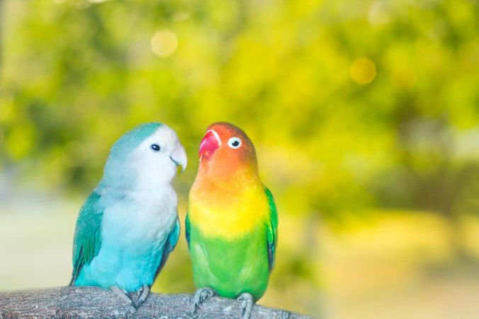 Two lovebirds on a branch