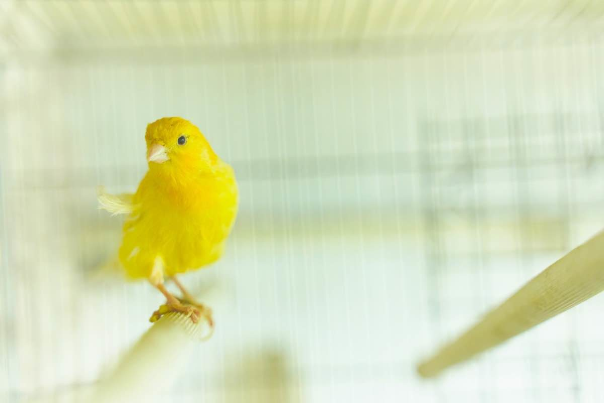 Yellow canary inside a cage
