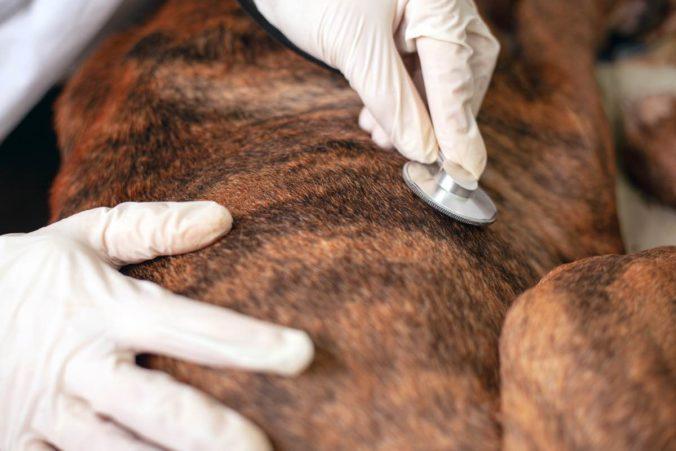 Veterinario auscultando el estómago de un perro con un estetoscopio