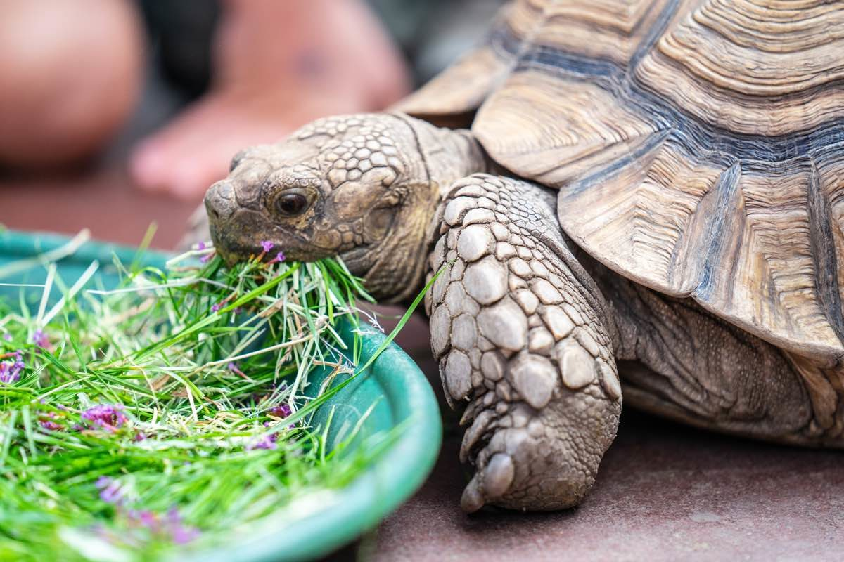 Domestic turtle being fed on a plate with grass