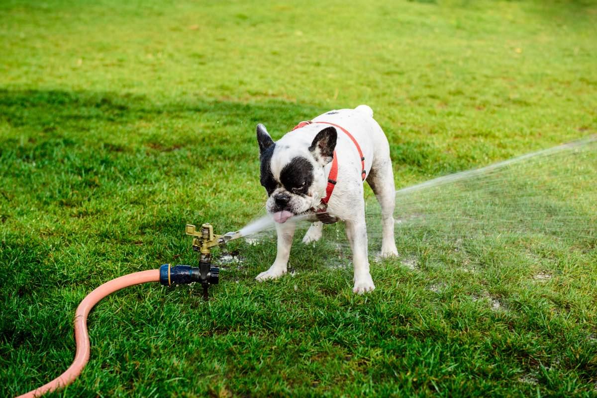 Perro bulldog francés refrescándose con el agua de una manguera en el césped