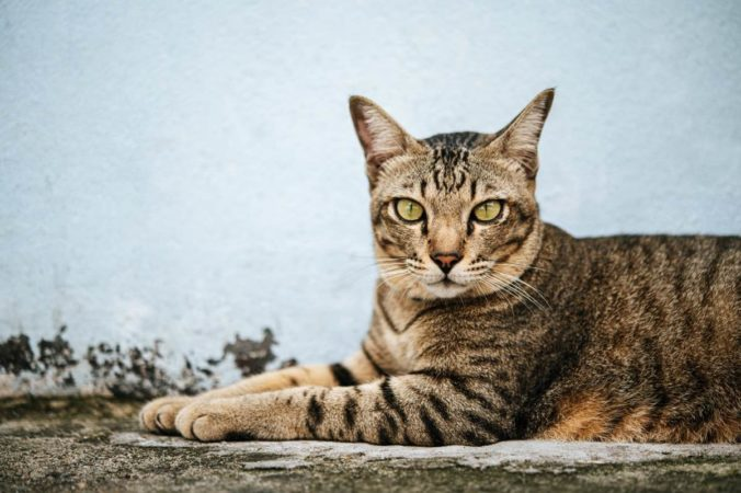 Tabby fur cat lying on the street staring intently at the camera