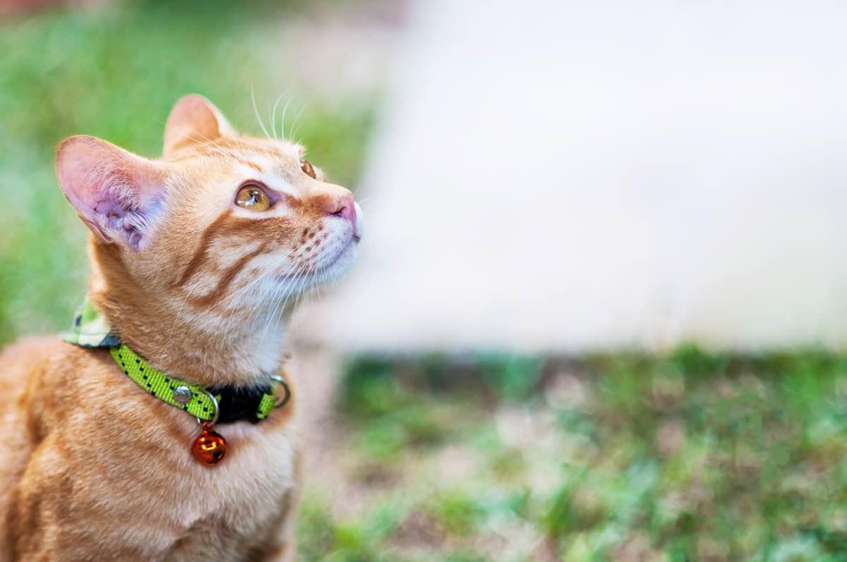 Gato de color marrón con collar con cascabel en un jardín