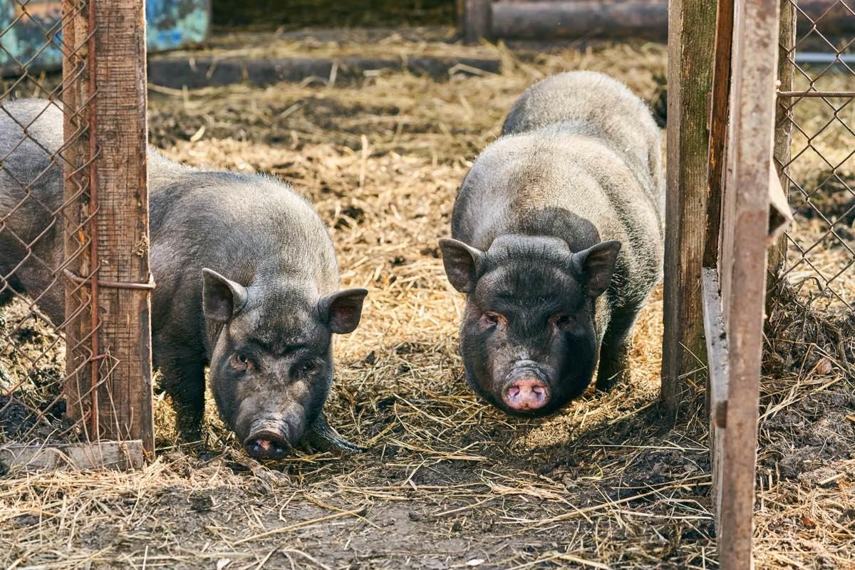 Dos porcs vietnamites en una granja