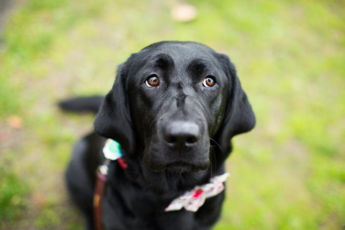 Perro de raza grande de color negro