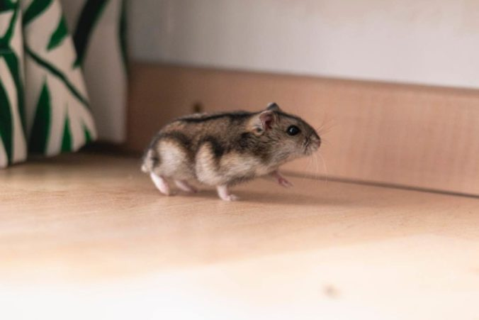 Russian hamster walking on the ground