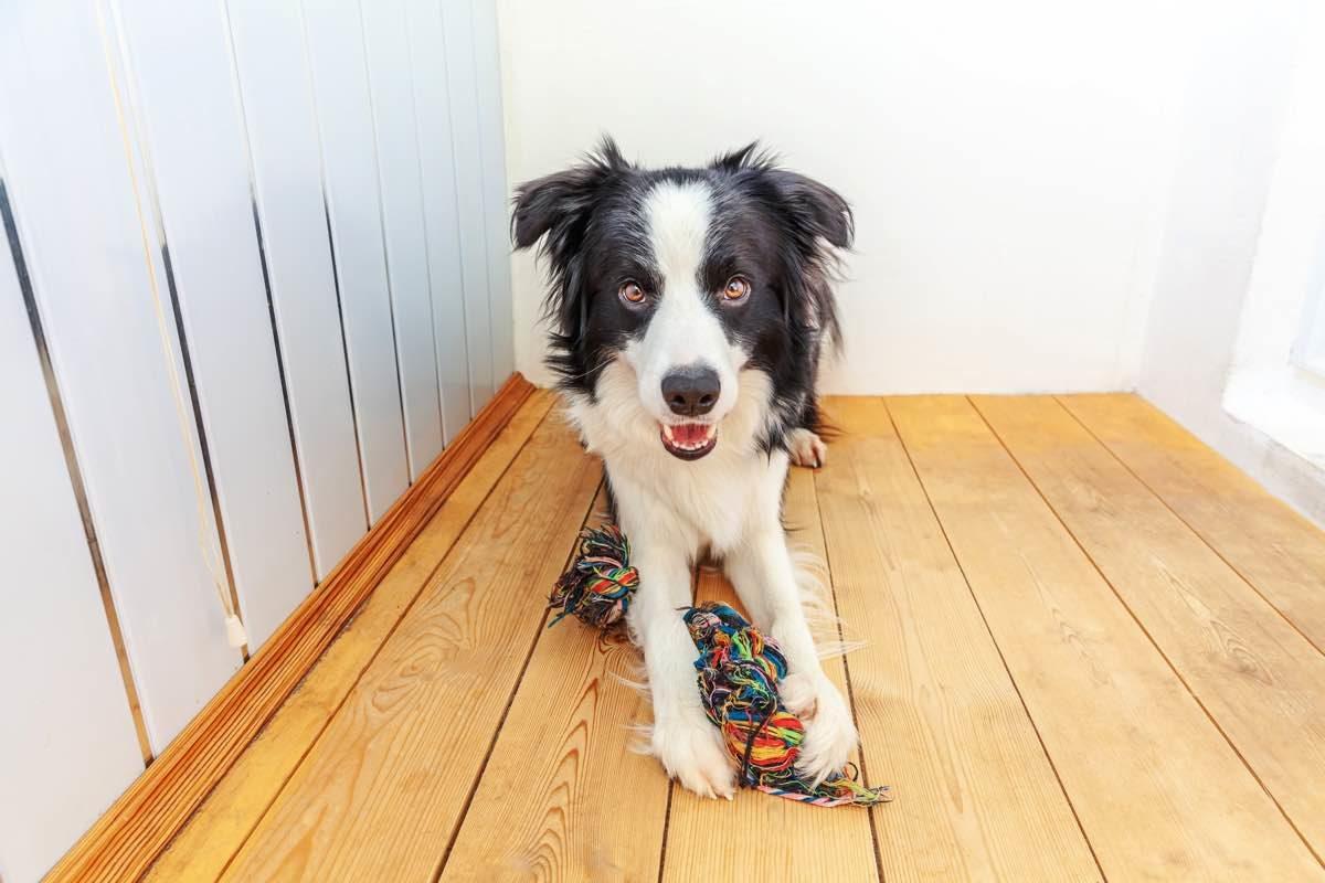 Gos amb una corda per jugar entre les seves potes