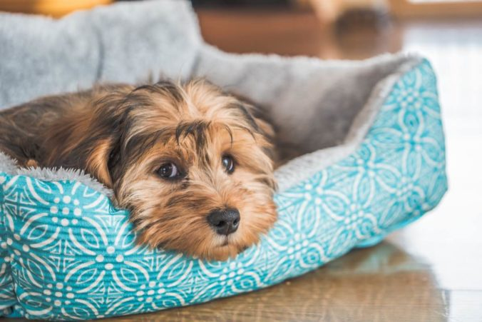 Primer pla d'un gos estirada al seu llit amb cara trista