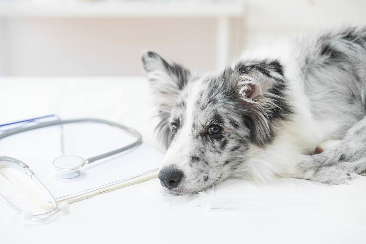 Gos estirat al costat d'un estetoscopi