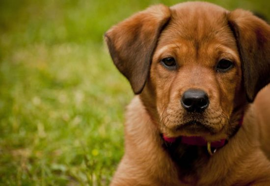 Closeup shot of a cute dog laying on a grassy field and looking at the camera