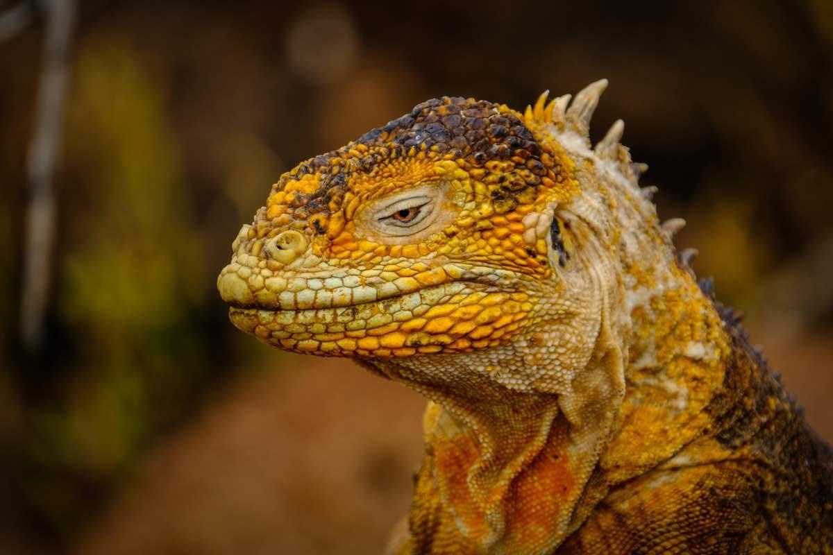 Iguana de color groguenc