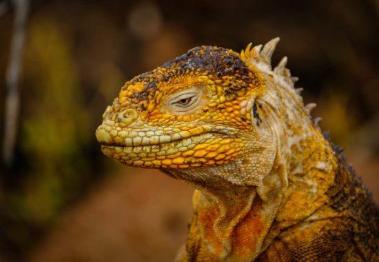 Iguana de color amarillento