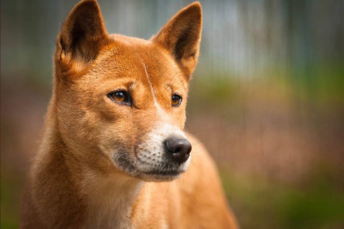 New Guinea singing dog e light brown color