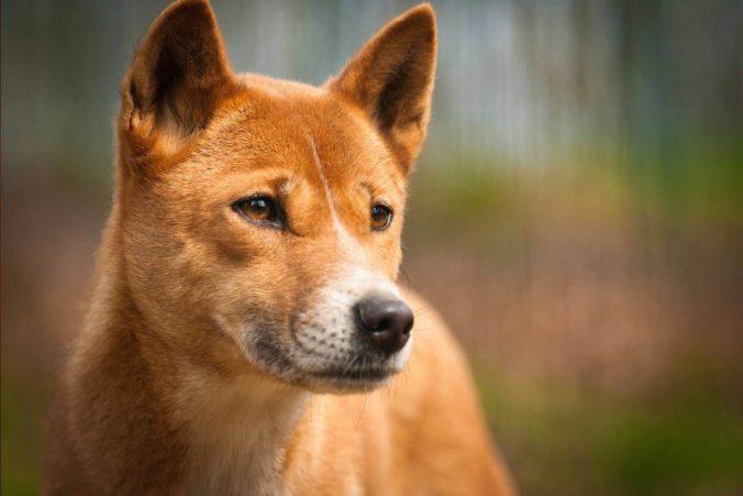 Gos cantor de Nova Guinea i color marró clar
