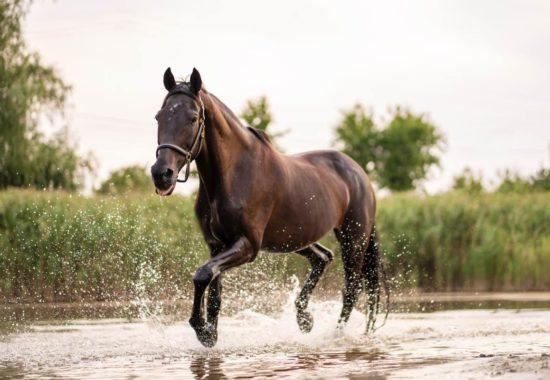 Cavall galopant per un riu