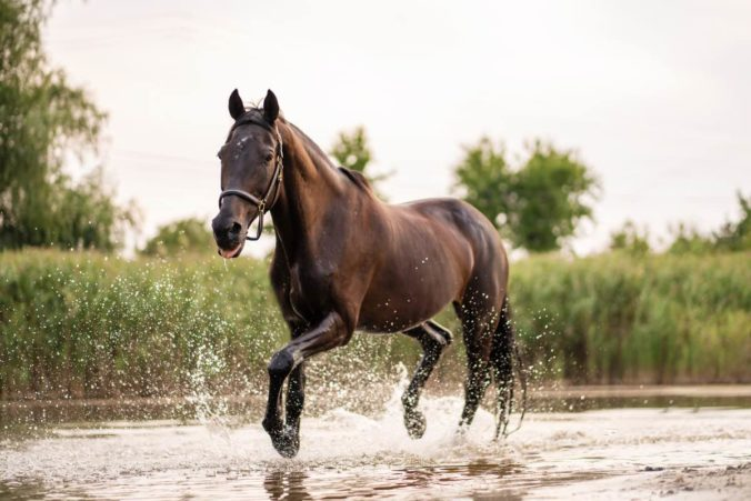 Horse galloping down a river