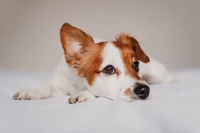 Dog lying with one of its ears drooping