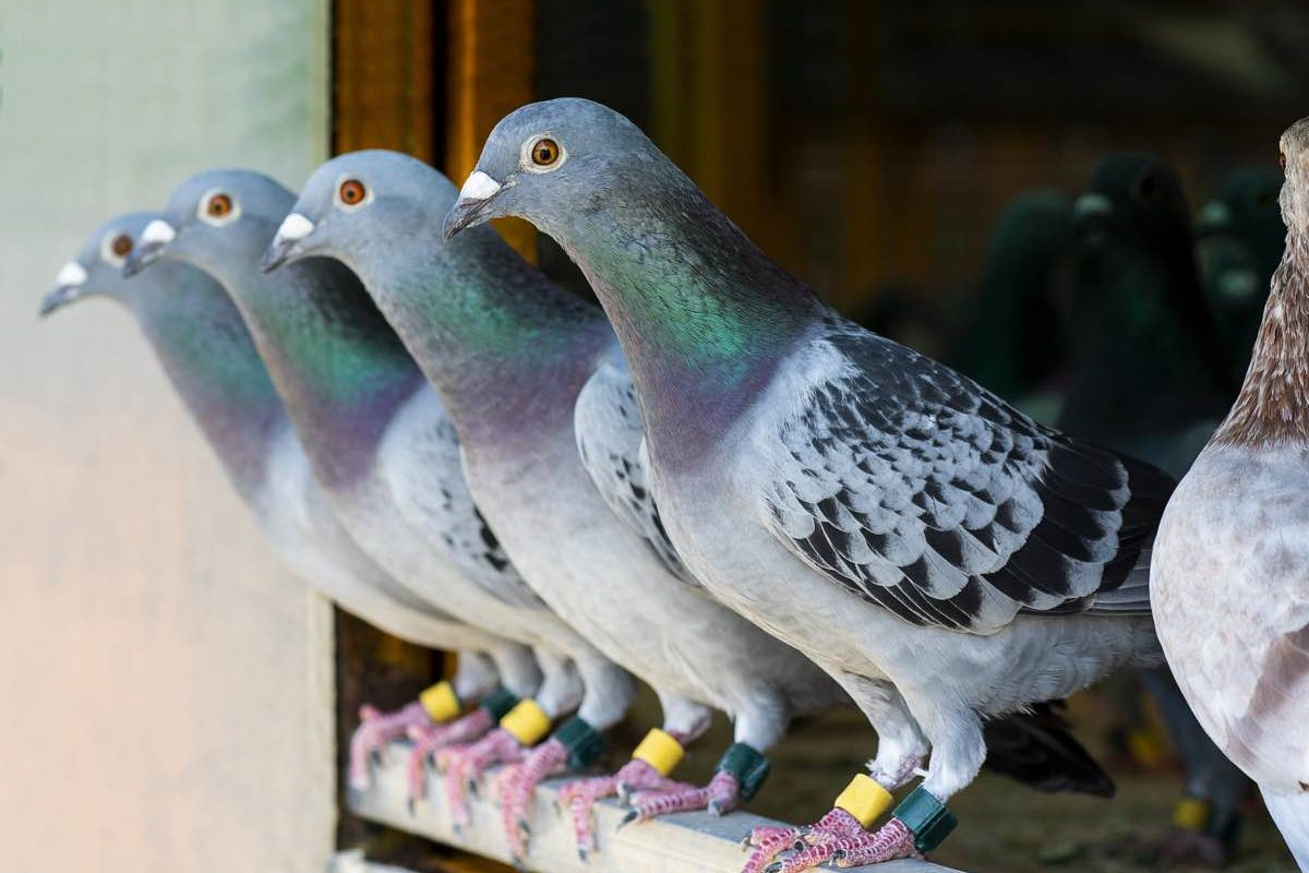 Four pigeons with rings on their legs