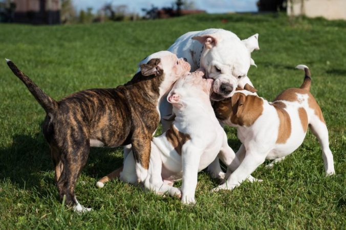 Puppy dogs playing with their mother.