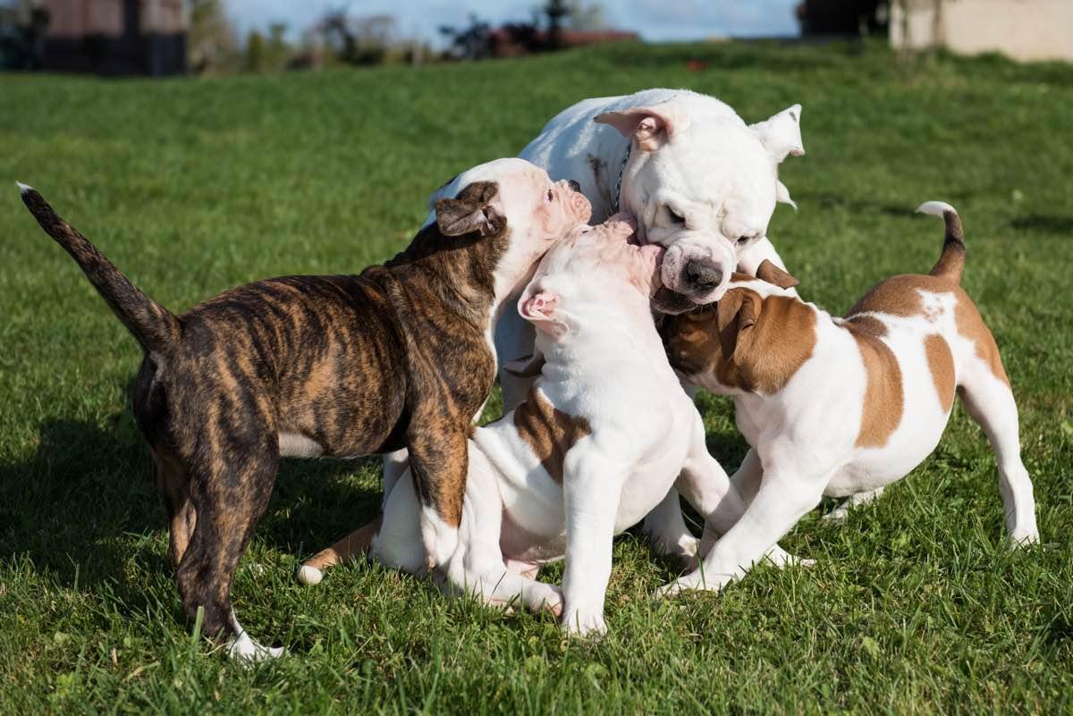 Gossos cadells jugant amb la seva mare.