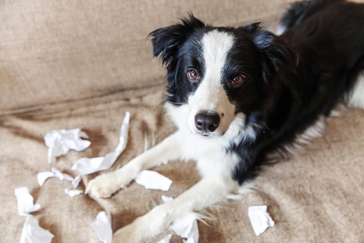 Dog on the sofa has shredded some papers