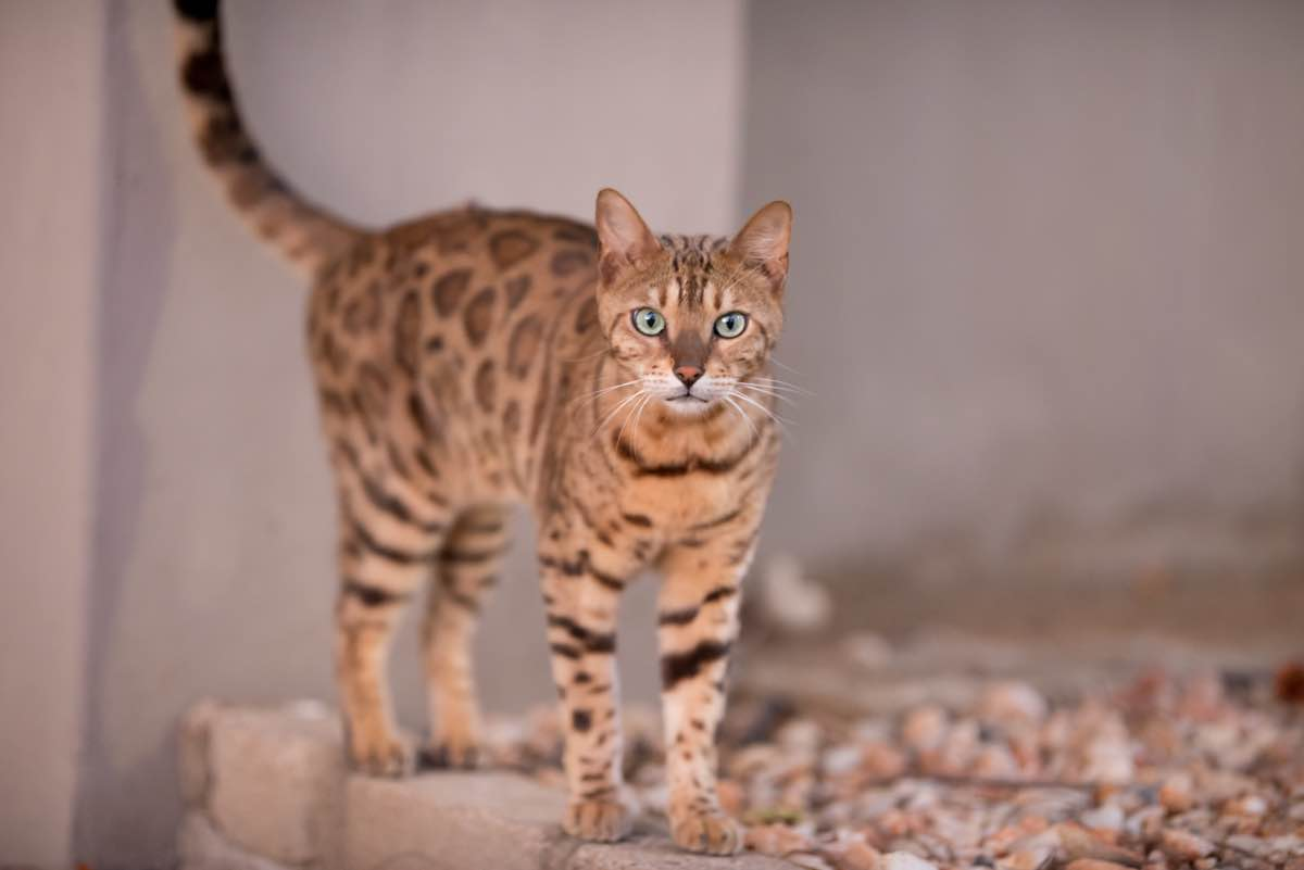 Bengal cat standing looking straight ahead