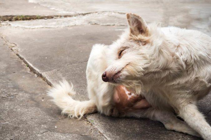 Perro blanco rascándose el cuerpo con una pata