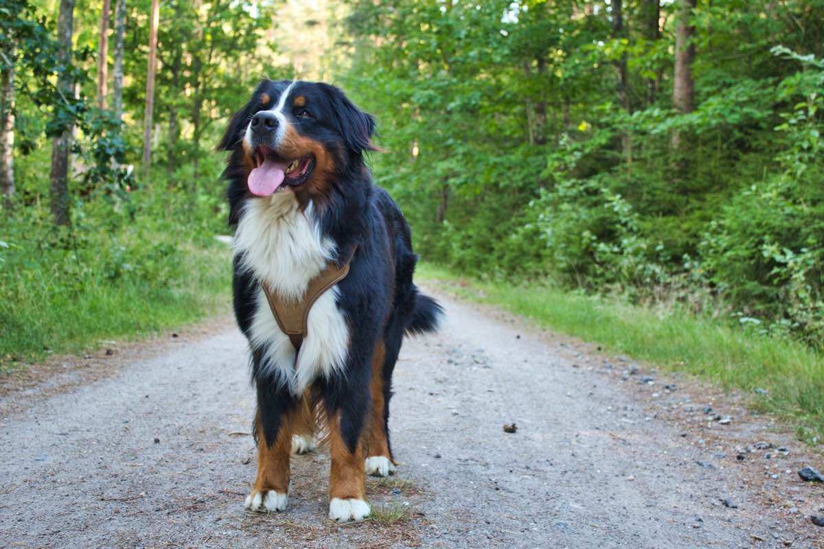 Perro de la raza Boyero de Berna de pie en un camino de tierra