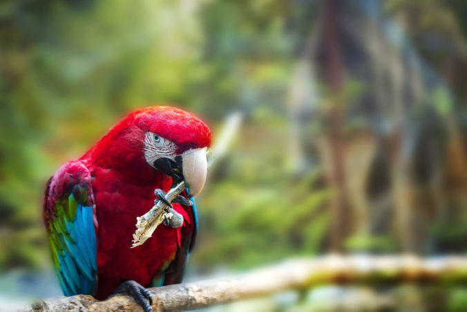 Big red parrot Red-and-green Macaw, Ara chloroptera, sitting on the branch