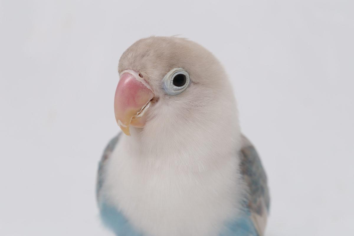 agapornis de color blanc, blau i gris