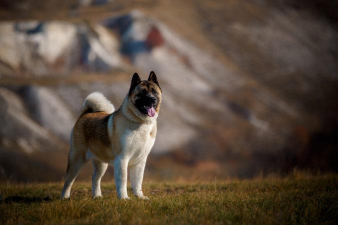 Dog breed American Akita in the field