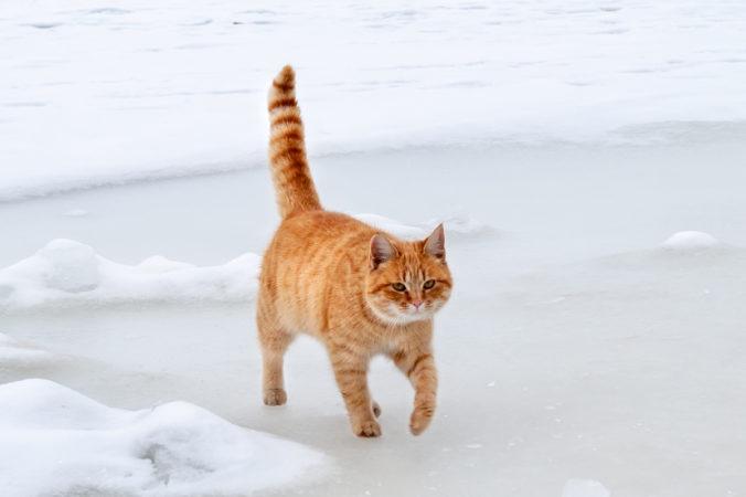Gato anaranjado caminando con la cola erguida