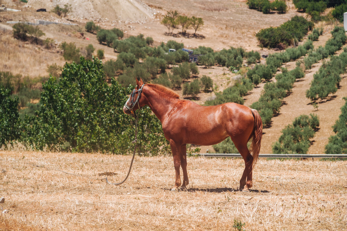 Elegant andalusiam horse in the countryside of Andalusia