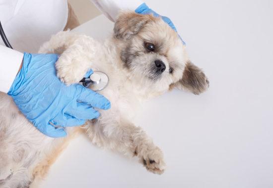 Gos sent auscultat per un veterinari