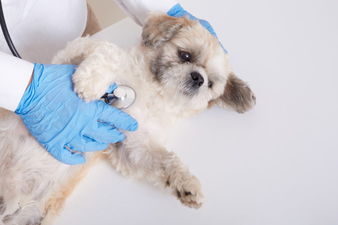 Faceless veterinarian examining pekinese dog with stethoscope, fluffy puppy lying on white table on his bag, pet need serious treatment in veterinary clinic.