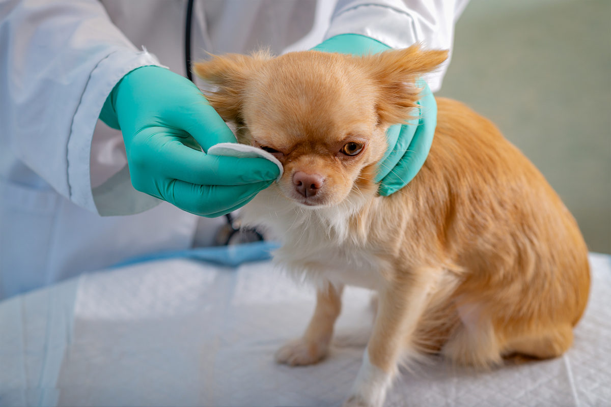 Veterinario curando el ojo de un perro de raza pequeña con un algodón.